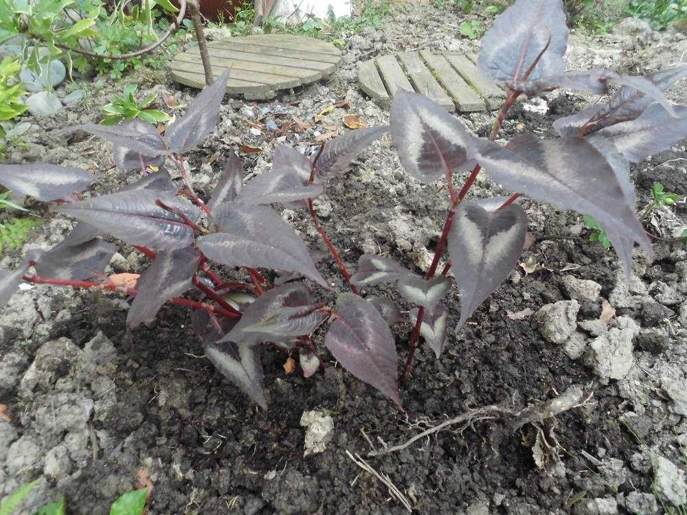A pousse a pousse le jardin d 39 isa - Ou pousse le kiwi ...