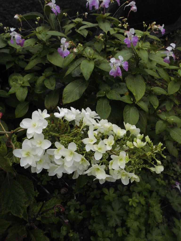 Hydrangea quercifolia? avec la balsamine de l'Himalaya (invasive) mais cette année j'en ai laissé elle bouche les trous!!!