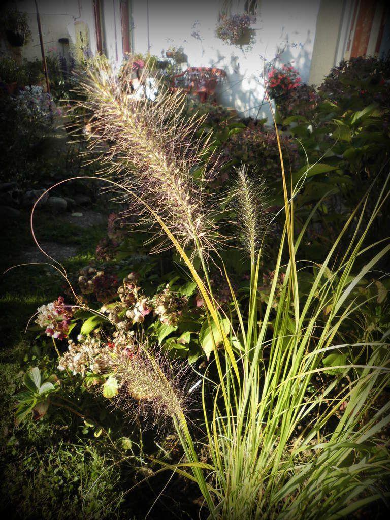 Un des trois pieds du pennisetum en situation sous un rayon de soleil de fin d'après midi d'automne