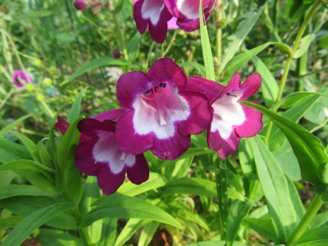 Penstemon Polaris Purple