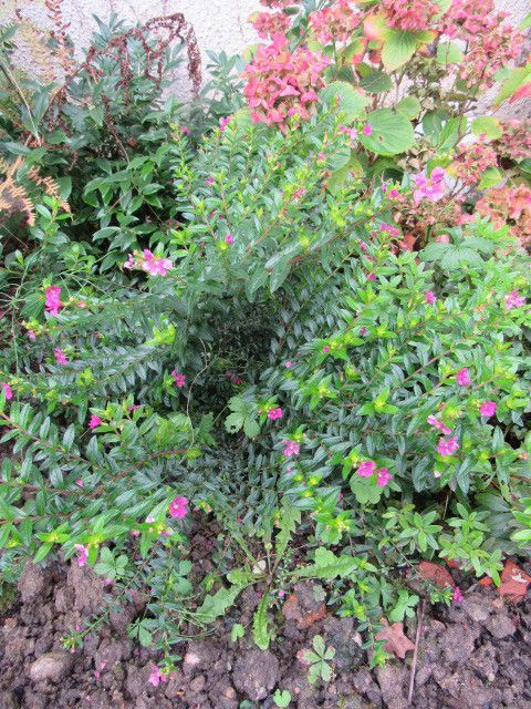 Cuphéa hyssopifolia