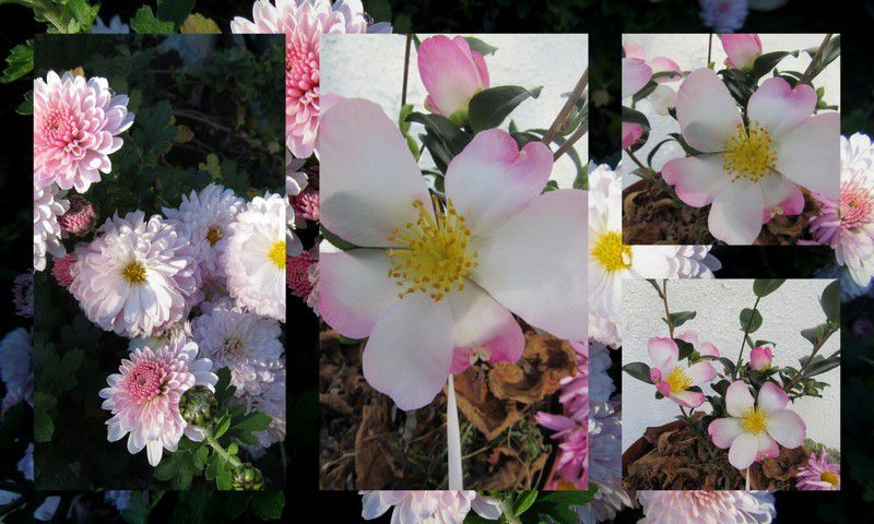 Chrysanthèmes et camélia sasanqua
