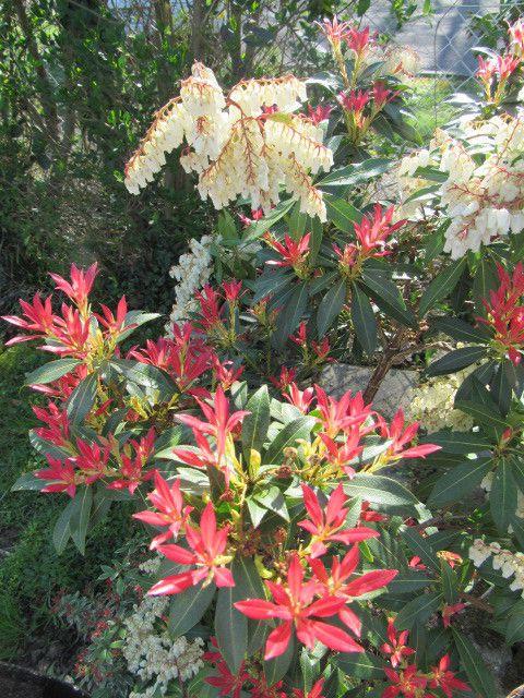 Pieris Forest Flame et premières tulipes
