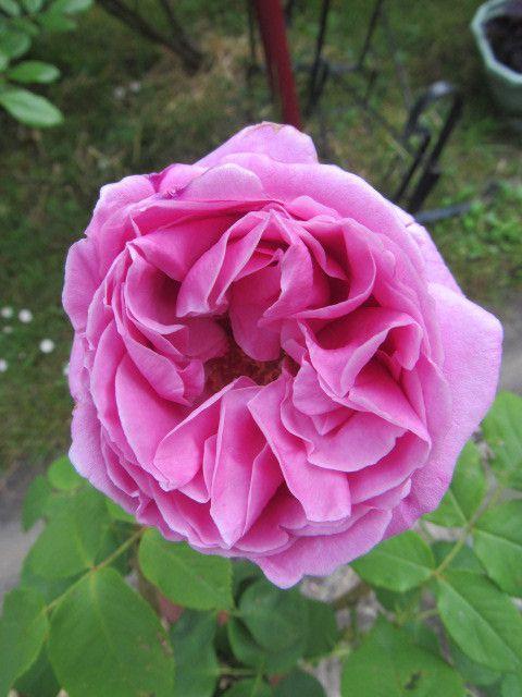 La fleur est belle et le feuillage (pour le moment) sain