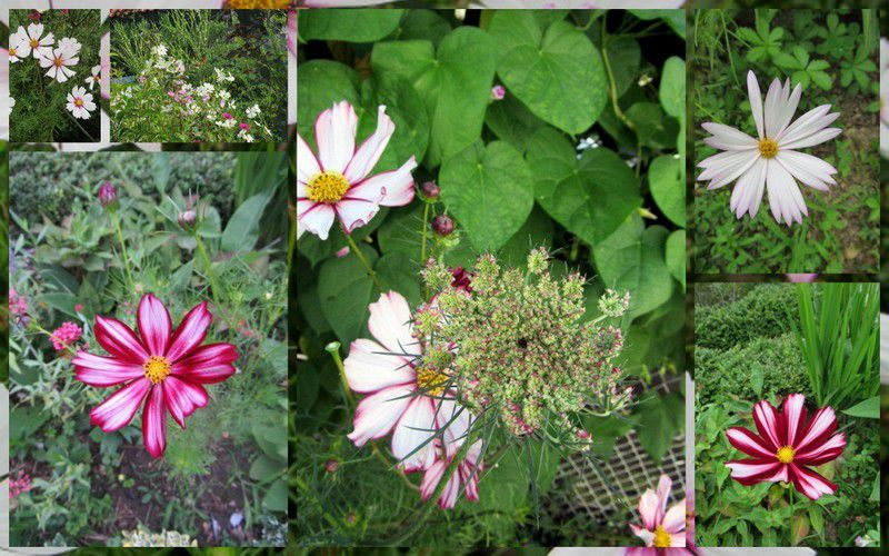 cosmos, indispensables au jardin