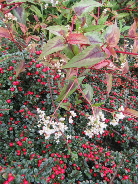 cosmos et callicarpa, cotoneaster et persicaire red dragon