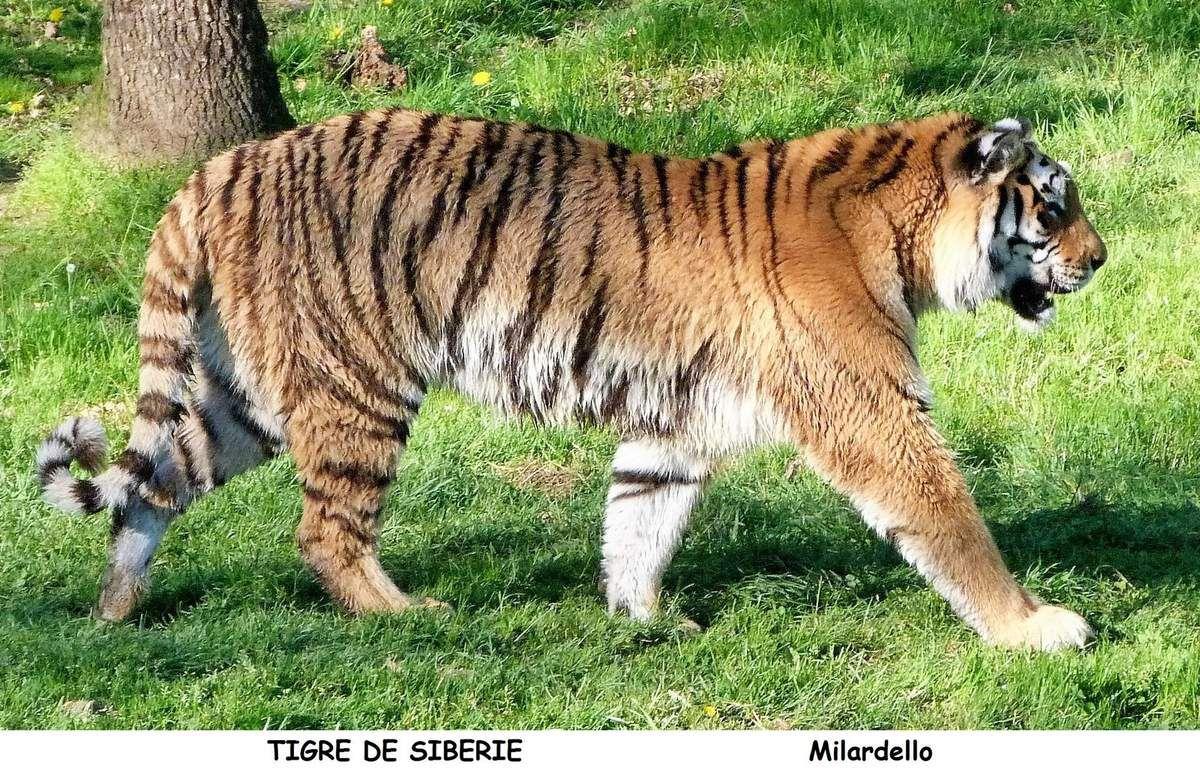 Gut gemocht LE TIGRE DE SIBERIE. - Le blog de milardello ZG56