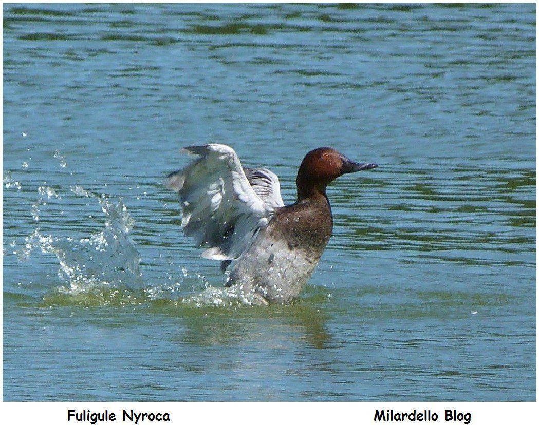 ========>Des oiseaux et des ailes: Photos d'oiseaux, toutes ailes déployées.<========                                            Cliquer sur les photos pour agrandir: Bernache, grues, Ibis, jabiru, cigogne, marabout, héron, sterne, flamant, cygne, nette rousse, canards, pélican, cormoran pie, fuligule, mouette, dendrocygne, garde boeuf, paon blanc, paon bleu, bergeronnette grise, harle couronné, vautour, canard de barbarie, Goura de scheepmaker, Échasse blanche,