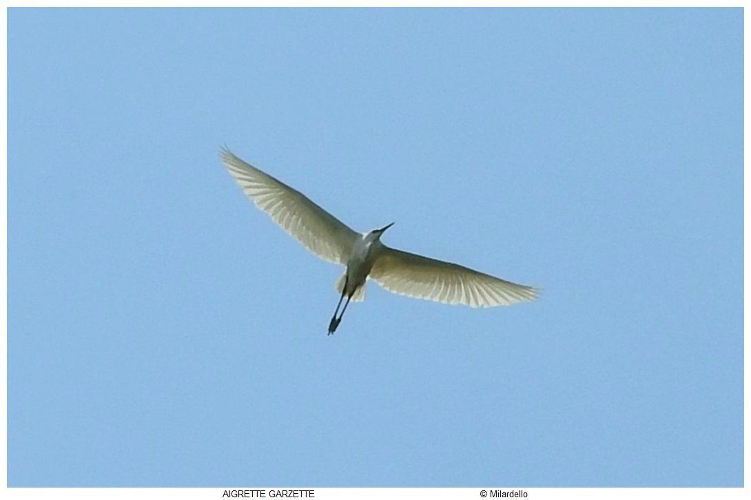 ========>Des oiseaux et des ailes: Photos d'oiseaux, toutes ailes déployées.<========                                            Cliquer sur les photos pour agrandir: Bernache, grues, Ibis, jabiru, cigogne, marabout, héron, sterne, flamant, cygne, nette rousse, canards, pélican, cormoran pie, fuligule, mouette, dendrocygne, garde boeuf, paon blanc, paon bleu, bergeronnette grise, harle couronné, vautour, canard de barbarie, Goura de scheepmaker, Échasse blanche, Vautour Percnoptère,Tadorne radjah, Aigrette garzette, Tadorne de Belon, Nicobar à camail, Mouette rieuse, Héron cendré, Grue Antigone, Spatule Blanche, Rollier à longs brins,