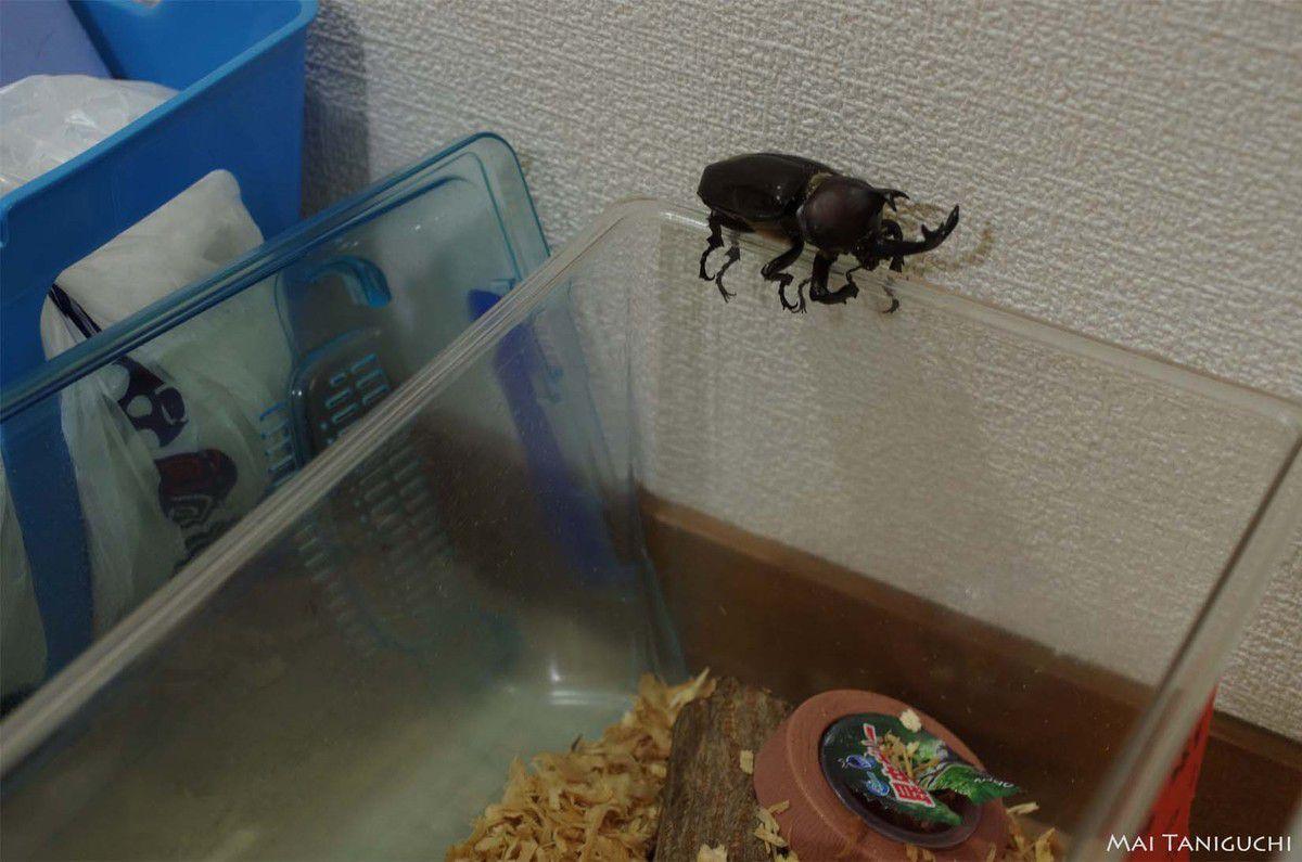 Nouvelles des scarabées