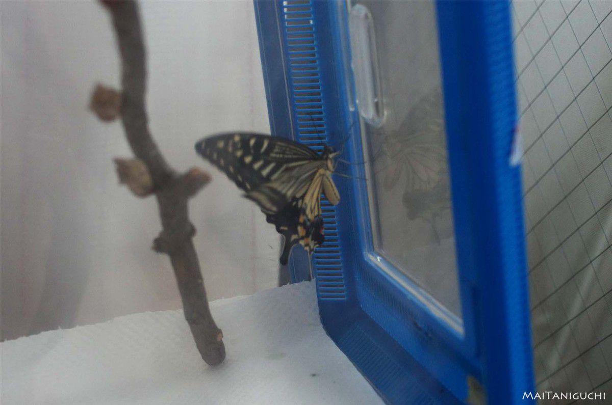 Oeufs de papillon