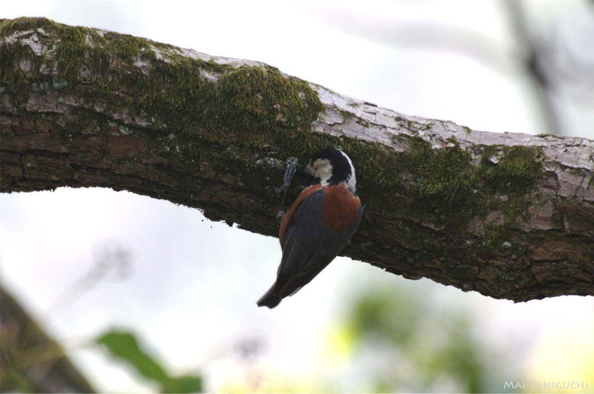 Les oiseaux au jardin de Ritsurin