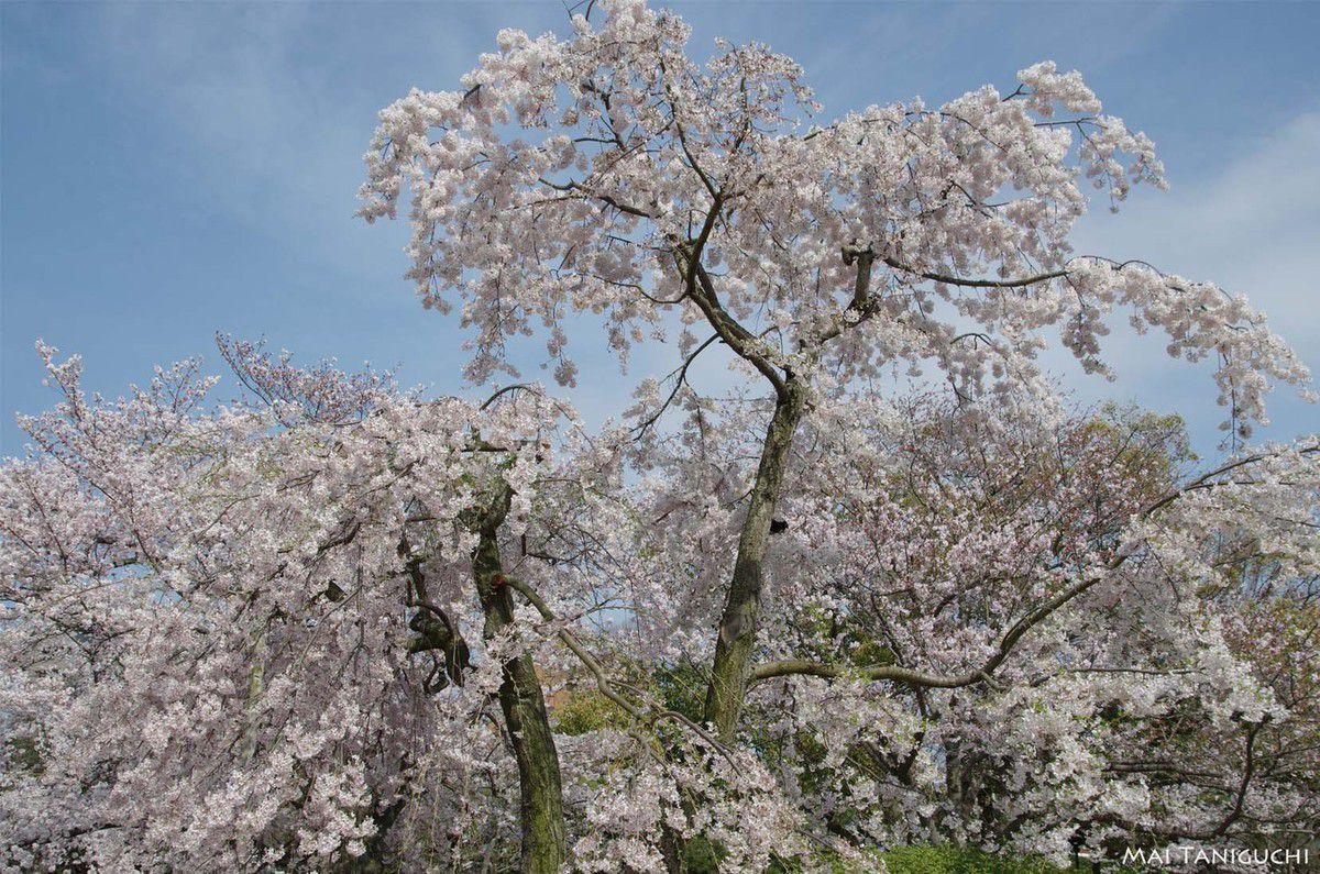 (Je vais continuer les cerisiers !)
