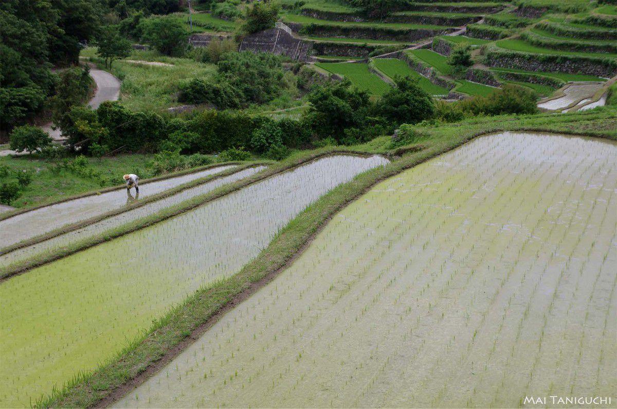 Graphisme de rizières
