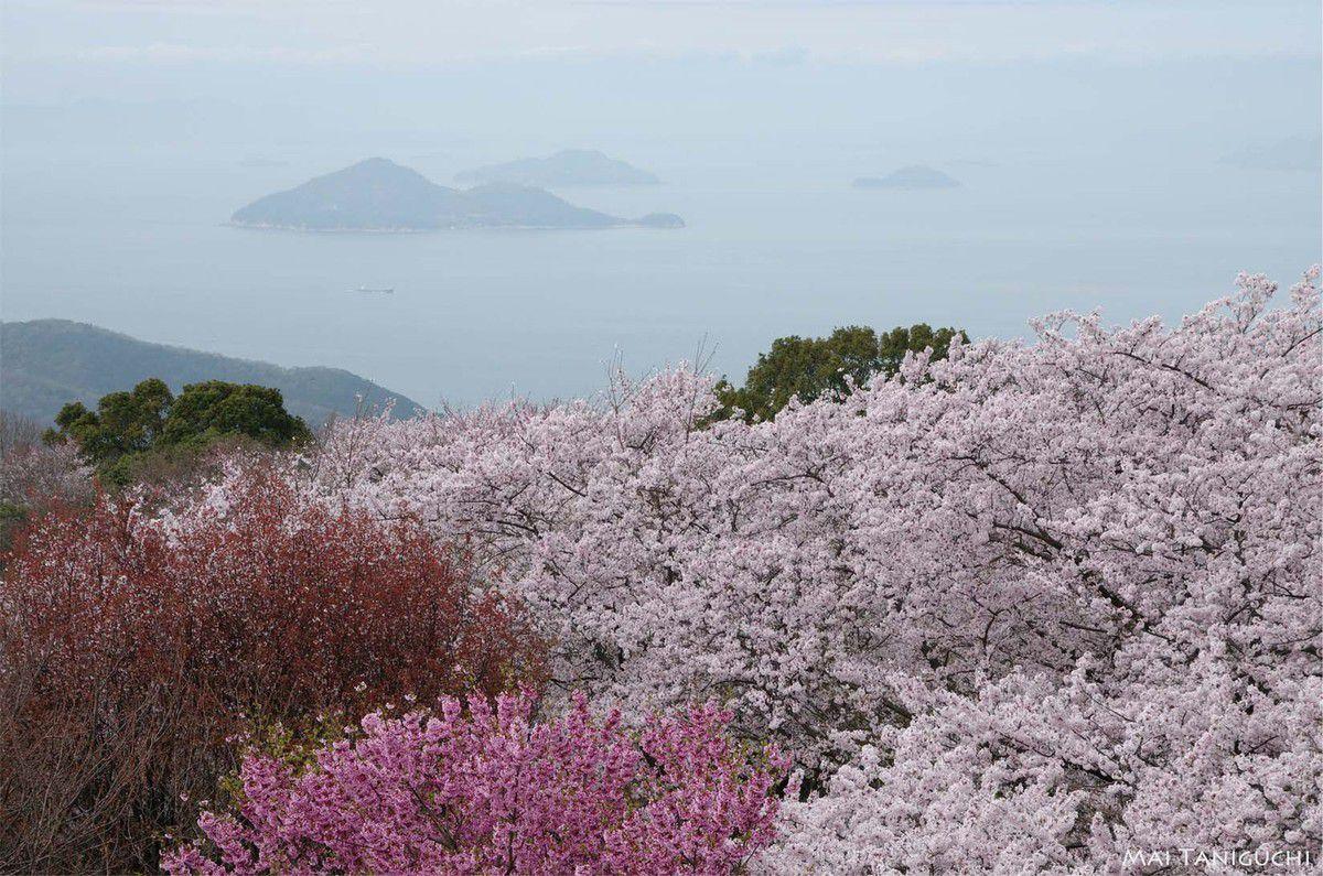 Cerisiers à Shiudeyama