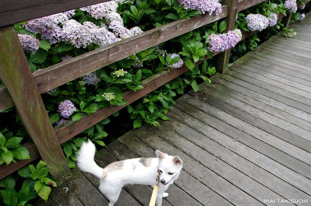 Le jardin des hortensias
