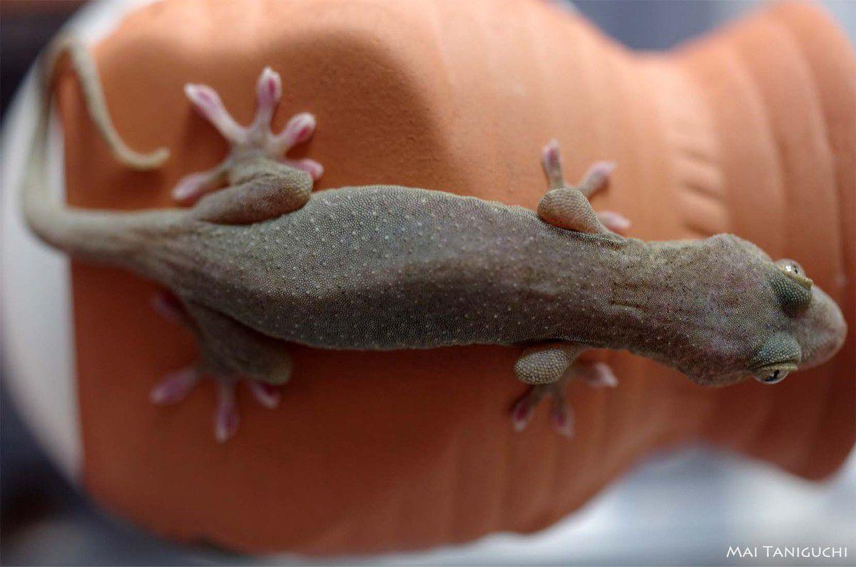 Gecko, rizières et hortensia
