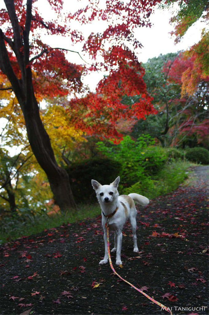 Les feuilles d'automne au Kotohira-gu
