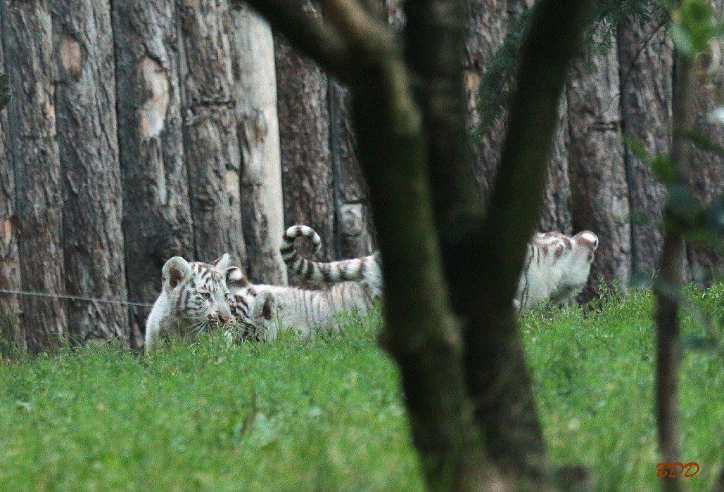 Bébé Tigre Blanc à Amneville