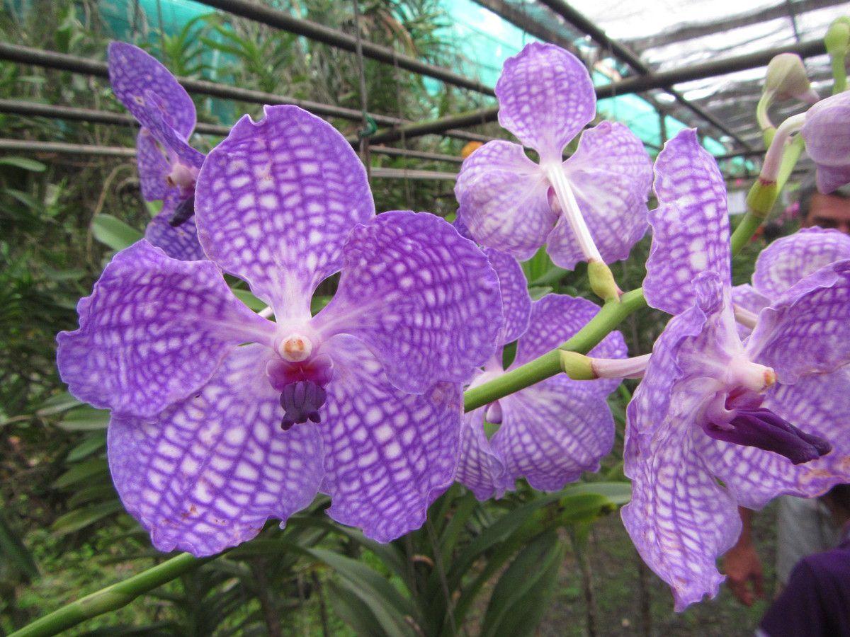 La Thaïlande - Les Orchidées