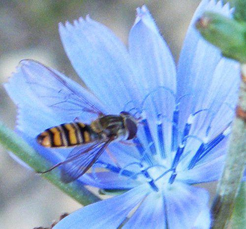 Syrphe ceinturé sur fleur de lin - Lubéron (04) - septembre -