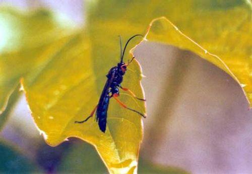"""TROGUS LAPIDATOR - 15 mm - hyménoptère - Parasite les chrysalides de """"Papilio machaon"""""""