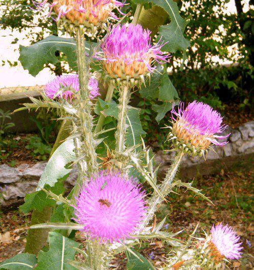 """Chardon """"Onopordum d'Illyrie"""" - très apprécié des butineurs - H : 1 m 50 - 2 m. Ici un exemplaire introduit au jardin."""