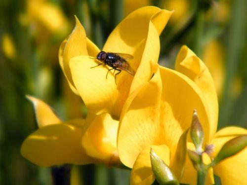 Le genêt et ses fleurs - La mouche,elle , n'est pas assez lourde pour faire fonctionner la pollinisation.