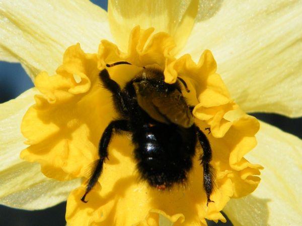 Xylocope violacé sur jonquille - 21.02.2016. Remarquez le pollen sur son dos, agent de pollinisation. Au début il a manqué l'entrée !