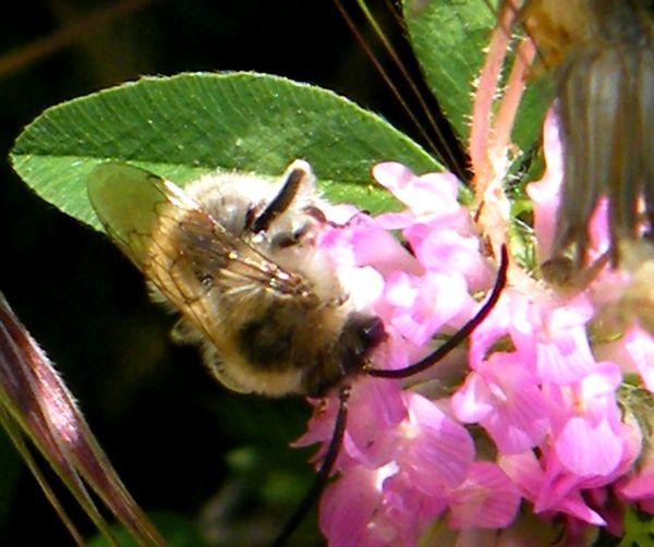 Sur le trèfle des prés (Trifolium pratense) - 07.05 - femelle et mâle.