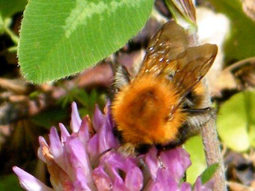 """""""Bombus agrorum"""" sur trèfle incarnat """"Trifolium pratense"""". - 12.05 - Les bourdons sont les seuls à fertiliser ces plantes."""