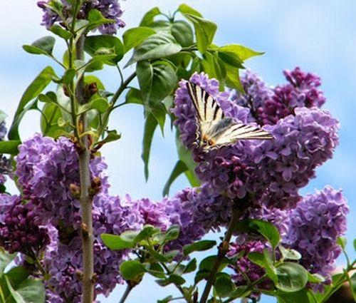 L'aventure d'un papillon flambé &quot&#x3B;Iphiclides poladirius&quot&#x3B;