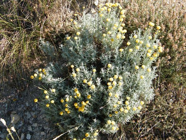 Santoline petit-cyprès.Lubéron (04) - juin - et fin de floraison août.