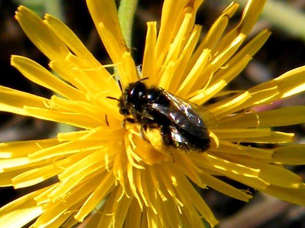PANURGUS SP. s'accouplant. Petites abeilles ( 5-7 mm) butinant exclusivement sur les asteracées. Lubéron (04) - août.