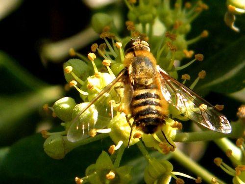 Les fleurs du lierre avec une éristale des fleurs (eristalis florea)  en visite. Ses baies en novembre. et un bombyle hottentotta