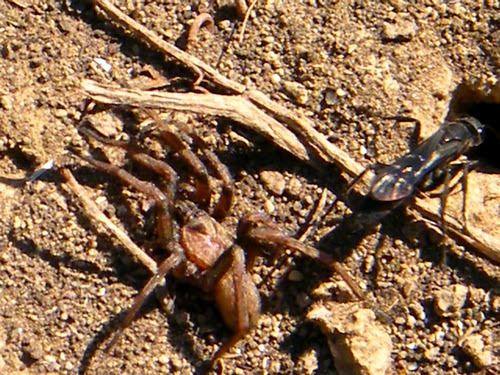 Le pompile et l'araignée Nemesia sp. ( Nemesiidae)
