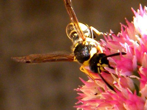 EUMENES PAPILLARIUS mâle sur fleurs de sedums spectabiles - Septembre - 10 mm -