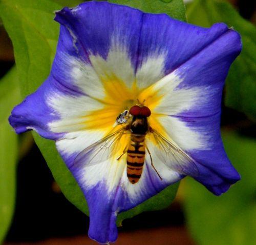 Géométrie - Sur une fleur d'Ipomée - 30 juin.