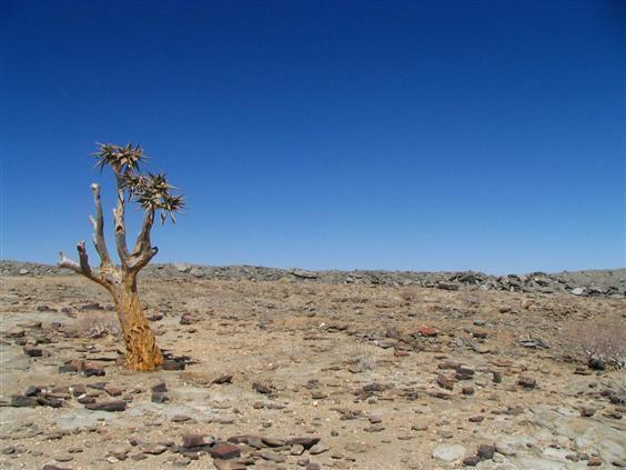 Köcherbäume auf dem Weg Richtung Nord-Namibia.