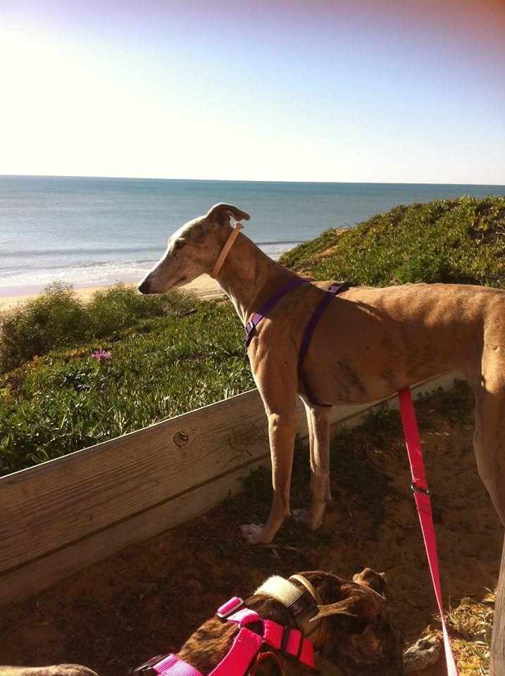 lévrier galga Basmati 3 ans a l'adoption chez sos chiens galgos