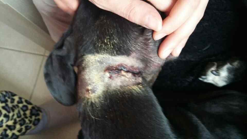 Avant et après Agata notre petite galga noire égorgé par un chien errant