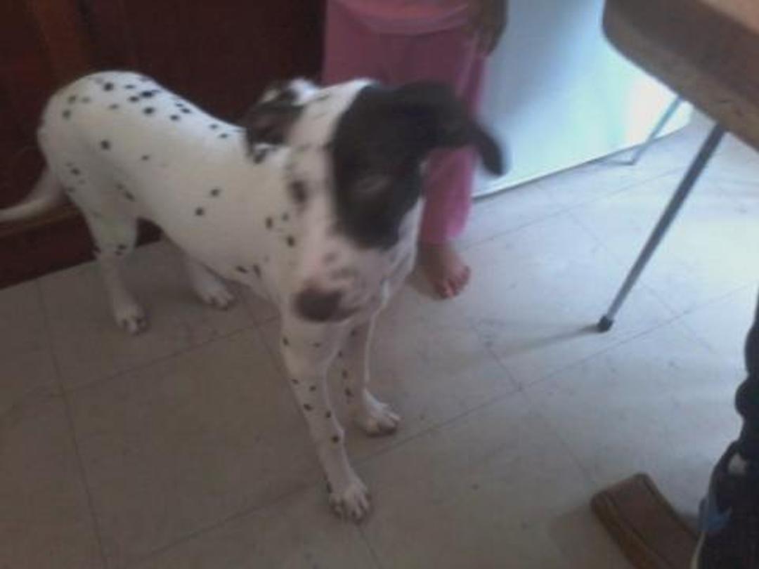 Jena chienne dalmatienne de 5 mois et un petit Labrador de 5 mois