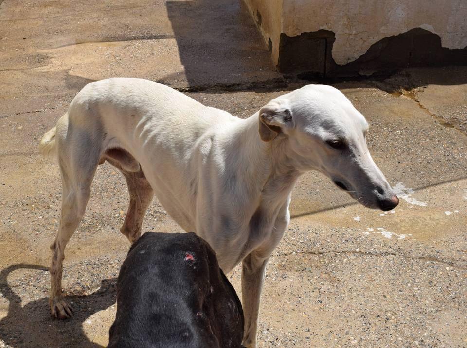 farruco un beau l vrier blanc a l 39 adoption chez sos chiens galgos association animale ma vie. Black Bedroom Furniture Sets. Home Design Ideas