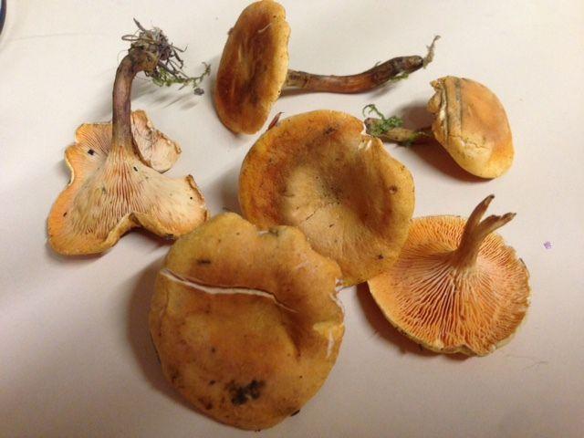 Clitocybe orangé - comestible moyen - 15 octobre 2015