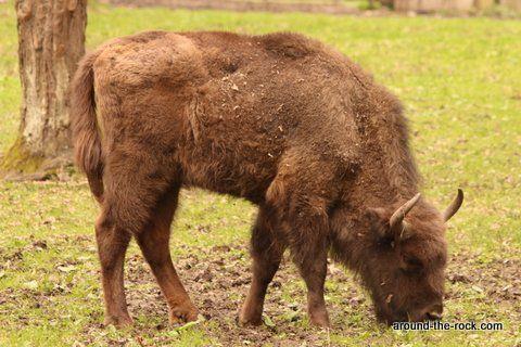 Parc national de Bialowieza - Bisons européens