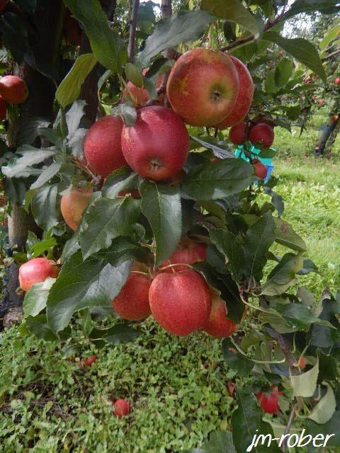 L'Automne est arrivé, la cueillette des pommes aussi.....