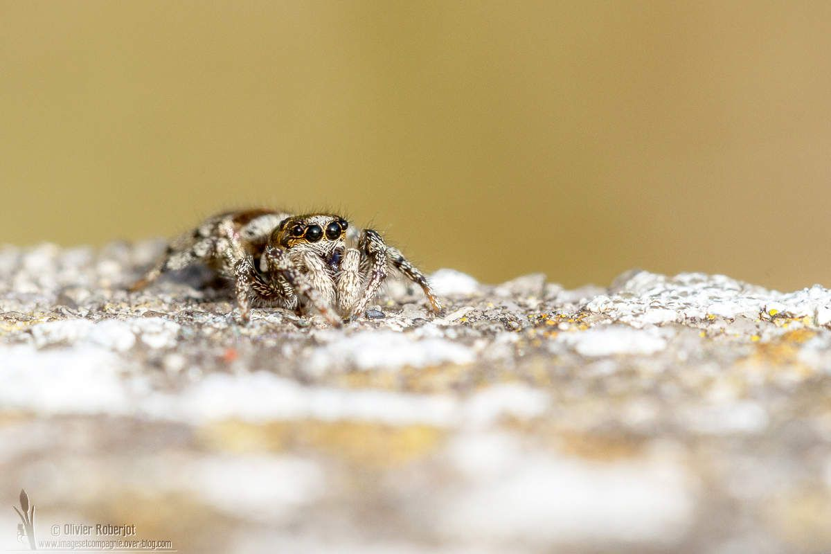 Salticidae (Arachnide)