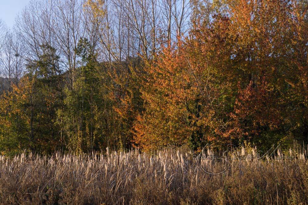Les roseaux à l'automne ...