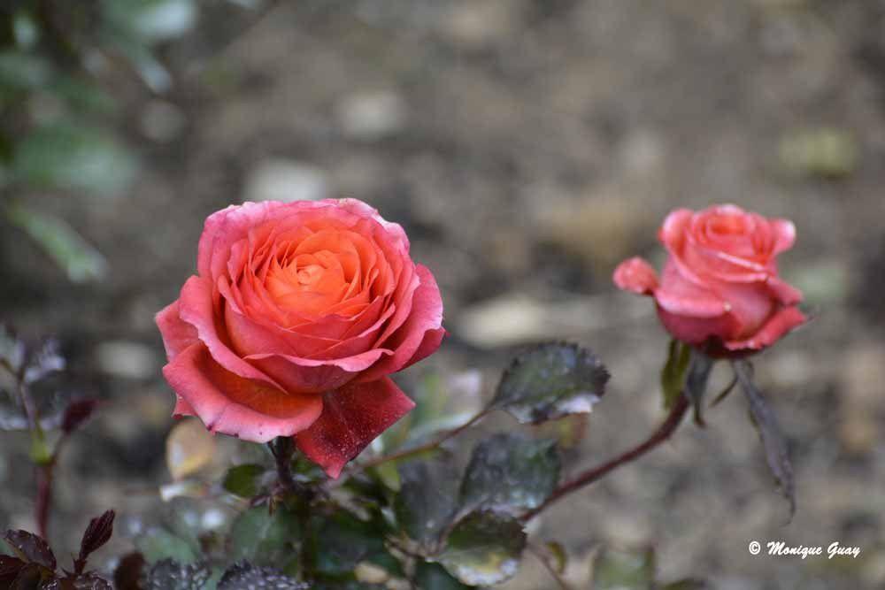 Ce rose orangé: quel délicatesse !
