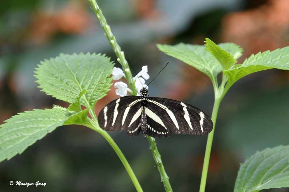 Papillon Heliconius hewitsoni charisonia